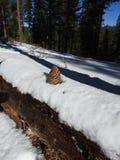 Pinecone auf Baum im Schnee Stockbild