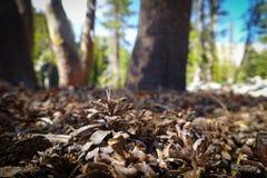Pinecone auf Forest Floor Stockfoto