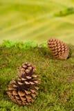 Pinecone bakgrund Royaltyfri Foto
