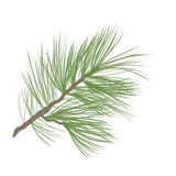 Pinecone branch isolated. Pine tree close up illustration Stock Photography