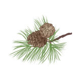 Pinecone branch isolated. Pine tree close up illustration Royalty Free Stock Images