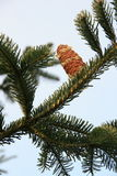 Pinecone on branch. Sappy pine cone rests on winter evergreen branch royalty free stock photos