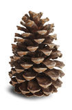 Pinecone. Brown pine cone on white background stock images