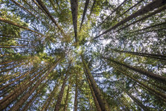 Pinecone Burke Treescape stock photos