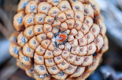 Pinecone central spiral core structure pattern as forest, decora. Pinecone central spiral core structure closeup pattern as forest, decoration, christmas Royalty Free Stock Image