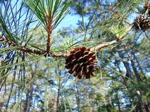 Pinecone. Close up of pinecone in a pine tree during summer royalty free stock photos