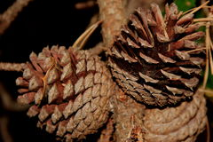 Pinecone cluster Stock Photo