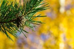 Pinecone e agulhas Foto de Stock Royalty Free