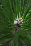 Pinecone ed ago del pino Fotografia Stock