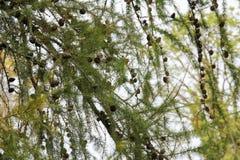 Pinecone in einer Kiefer während des Herbstes Stockfotos