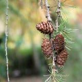 Pinecone in einer Kiefer während des Herbstes Stockfotografie