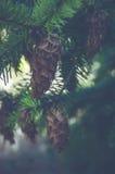 Pinecone en árbol de hoja perenne Foto de archivo