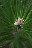 Pinecone en pijnboomnaald Stock Foto