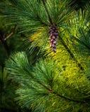 Pinecone en un árbol Fotos de archivo libres de regalías