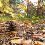 Pinecone in the fallen leaves. In autumn forest Royalty Free Stock Photo