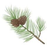 Pinecone filialsamling Royaltyfri Foto
