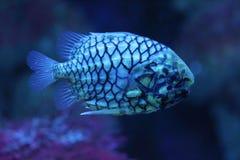 Free Pinecone Fish Monocentris Japonica Stock Photos - 131304533