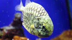 Pinecone fish swimming underwater. Pinecone fish (Monocentridae) swimming underwater. Series: Colorful habitants of oceanarium underwater stock footage