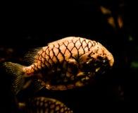 Pinecone fisk Royaltyfri Bild