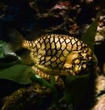 Pinecone fisk Arkivfoton