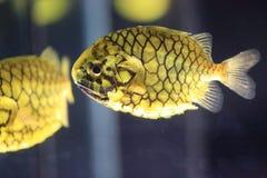 Pinecone fisk Arkivfoto