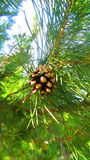 Pinecone Royalty Free Stock Photography