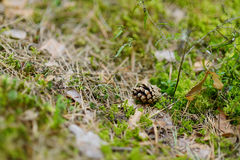 Pinecone on the ground in autumn forest Stock Photos