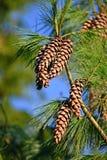 Pinecone hoog in een boom Royalty-vrije Stock Afbeeldingen