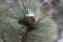 Pinecone innevato Fotografia Stock Libera da Diritti