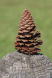 Pinecone macro. Royalty Free Stock Photos