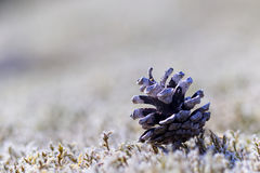 Pinecone on moss. Narrow / controlled depth of field. Background is blurry/ out of focus moss Stock Photos