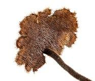 Pinecone mushroom Stock Photography