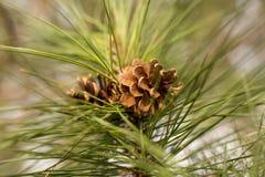 Pinecone na floresta verde foto de stock royalty free
