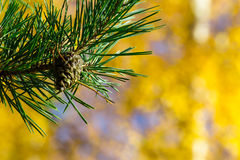 Pinecone and needles Royalty Free Stock Photo