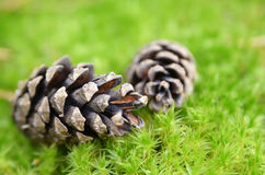 Pinecone no musgo Fotos de Stock