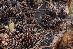 Pinecone på en stubbe av ett träd Royaltyfri Bild