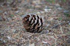 Pinecone på jordningen Royaltyfria Foton