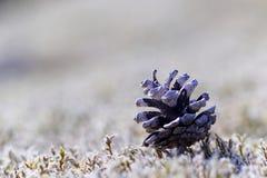 Pinecone på moss Arkivfoton