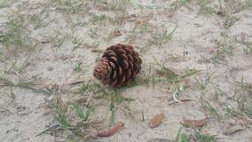 Pinecone på stranden Arkivbild