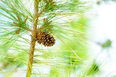 Pinecone på träd Arkivbild