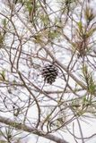 Pinecone på treen Royaltyfri Bild