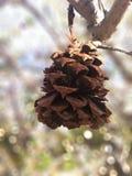 Pinecone Stock Image