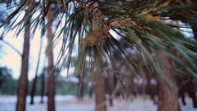 Pinecone on pine branches, swinging in breeze, close-up, winter snow forest stock video