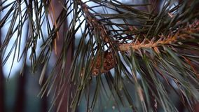 Pinecone on pine branches, swinging in the breeze, winter snow forest, close up stock video