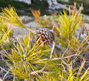 Pinecone on a pine tree Stock Photography