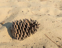 Pinecone in the sand Stock Image