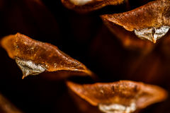 Pinecone scales. Closeup of a Ponderosa pine (Pinus ponderosa) pinecone scales Stock Photo