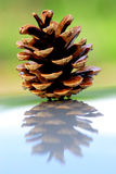Pinecone on shiny reflecting surface Royalty Free Stock Photos