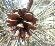 Pinecone. A short outlet of conifer carrying reproductive organs royalty free stock images