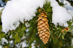 Pinecone shot from close Stock Photos